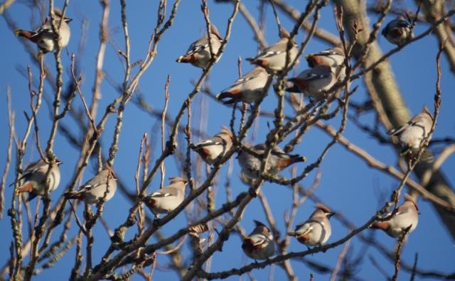 Waxwing Flock, Bolton, 2011