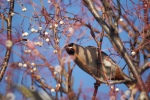 Spotted by a Waxwing, Bolton, 2011