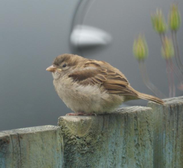 Baby House Sparrow, Leeds, 2012