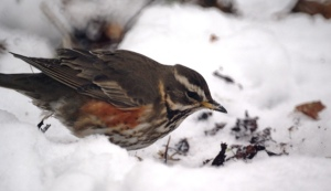 Redwing, Moorlands, York, 2012