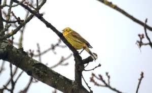 Male Yellowhammer, York