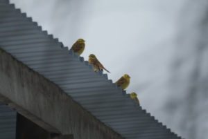 Yellowhammers near York