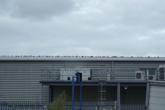 A line of Lapwing, Bolton, 2009