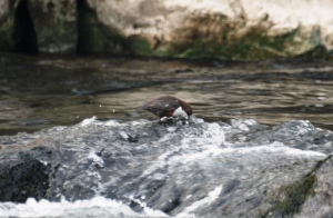 A Dipper on the hunt