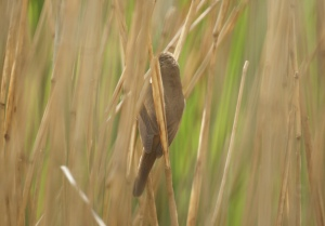 Reed Warbler. You'll have to trust me on this.