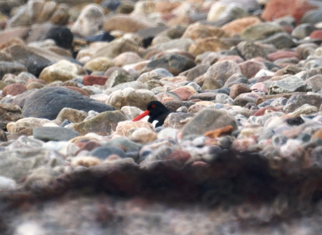 Oystercatcher hidden in the rocks, Loch Linnhe, Onich