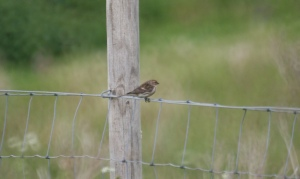 Bird on the Wire (fence) Redpoll, Onich