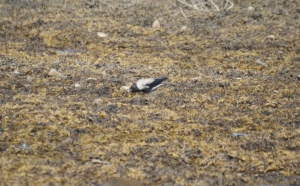 Hooded Crow, Kentra Bay