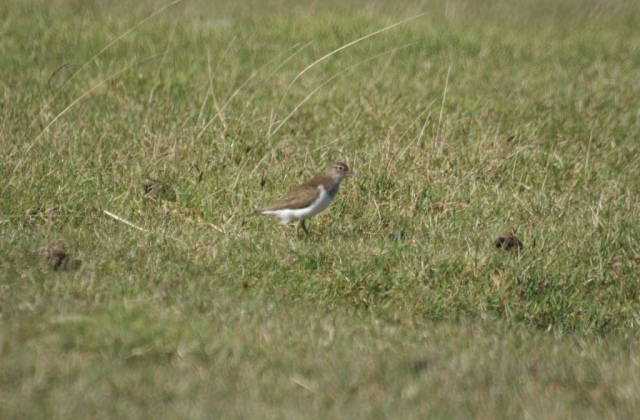 Common Sandpiper on Kentra Bay