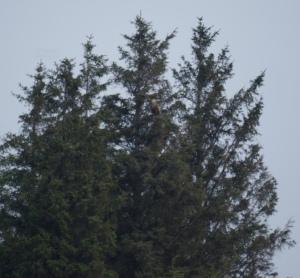 A distant Eagle