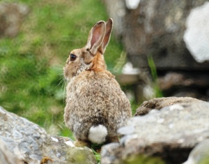 Rabbit, Lunga