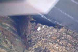 Wren, exploiting an old martin nest