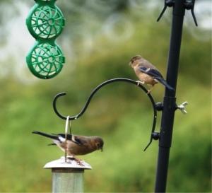 Baby bullfinches
