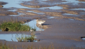 Curlew, ready to hunt Spurn, October 2013
