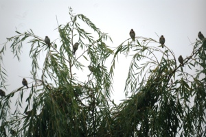 Goldfinches in the willow