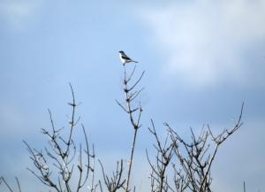 Great Grey Shrike Spurn, October 2013