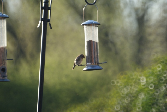 Lesser Redpoll from April 2013