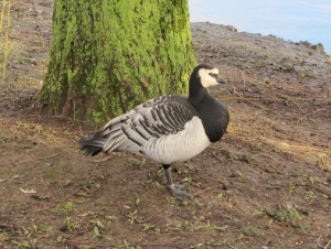 Barnacle Goose Heslington West, York, January 2014