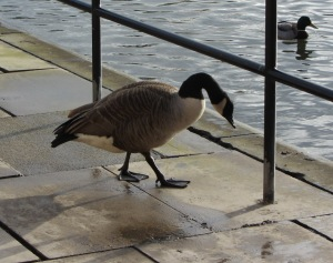 Canada Goose Heslington West, York, January 2014