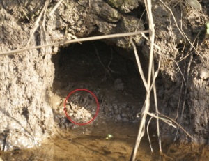 Water Vole hole, with footprint ringed York, March 2014