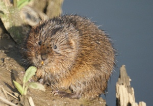 Water Vole York, March 2014