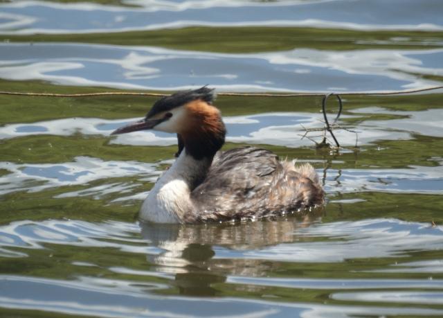 Great Crested Grebe Heslington Lake, June 2014