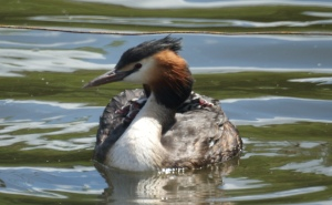 One grebe, four heads