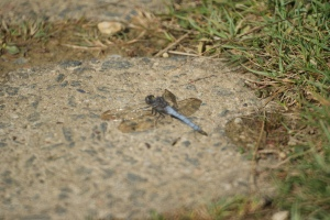 Male Keeled Skimmer, sadly out-of-focus Fen Bog, August 2014
