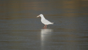 An urbanised winter gull