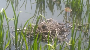 Baby coot wondering where everybody has gone