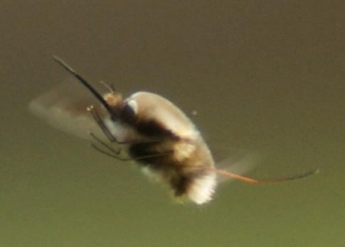 bee Fly (B.major)