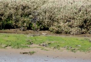 Common Sandpiper River Aln, May 2015