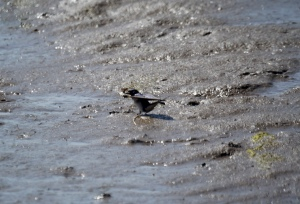 Swallow in the mud River Aln, May 2015