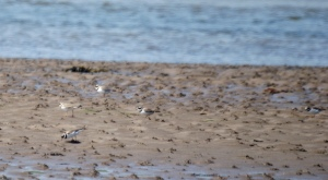 Ringed Plover River Aln, May 2015