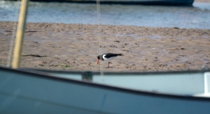 Oystercatcher River Aln, May 2015