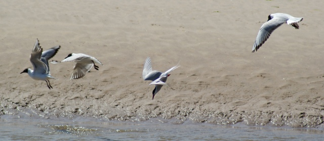 Dive! Dive! Dive! Common Tern, Alnmouth, May 2015