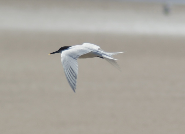 Sandwich Tern Note the yellow tip of the bill