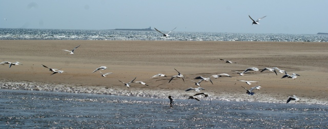 The terns here are towards the top of the picture. Most of the birds lower down are Black-headed Gulls
