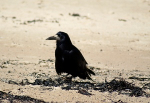 Rook beachcombing Alnmouth, May 2015