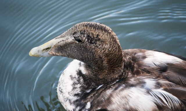 Juvenile Eider It takes three years to reach maturity