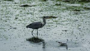 Grey Heron and Black Headed Gull River Aln May 2015