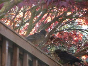 Entirely out of focus, but Blackbird One, accompanied by mum