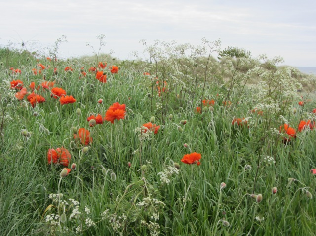 Poppies amongst the dunes Alnmouth, May 2015
