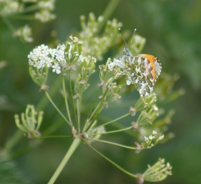 Orange-tip on Cow Parsley River Foss, June 2015
