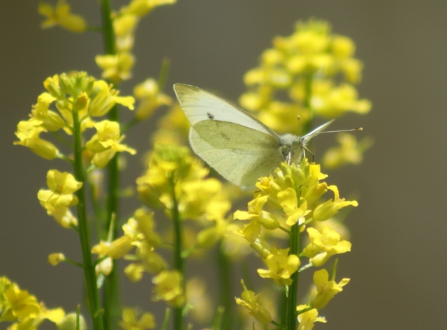 Small White (Pieris rapae) River Foss, June 2015