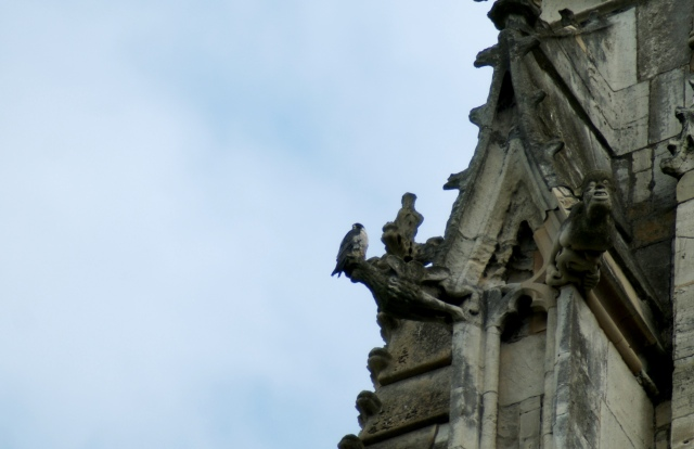 Peregrine Falcon York Minster, June 2015