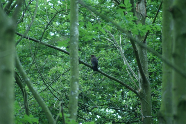 Juvenile Blackbird Chaddesden Wood LNR