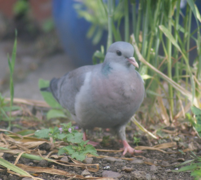Stock Dove Derby, June 2015