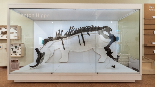 The Allenton Hippo on display in the new gallery. Photo courtesy of Derby Museums