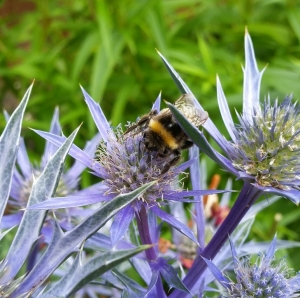 On sea holly